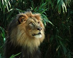 25 Magnificent Pictures of LIONS