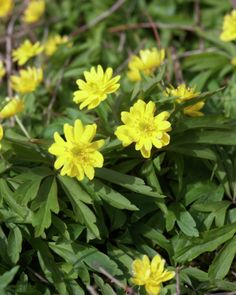 Yellow anemone • Anemone ranunculoides • Yellow wood anemone • Wood ginger • Plants & Flowers • 99Roots.com