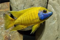 Aulonocara baenschi... I have this cichlid.. he stays a nice manageable size and doesn't seem to be very aggressive.  Nice fish.