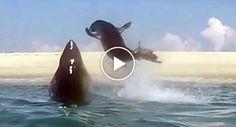 Foca Escapa a Ataque De Tubarão De Forma Incrível http://www.funco.biz/foca-escapa-ataque-tubarao-de-forma-incrivel/