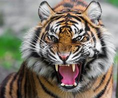 Best images For pets and Animals Animals And Pets, Funny Animals, Cute Animals, Wild Animals, Tiger Sketch, Tiger Roaring, Tiger Wallpaper, Animal Attack, Tiger Attack