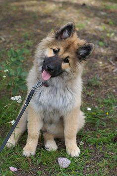 Eurasier puppy Harahill's Kamomilla
