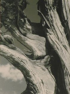 Juniper (1930) by Ansel Adams