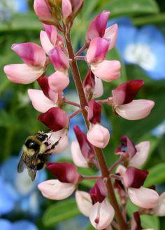 Lupinus succulentus Rodeo Rose | A [d/-/d] [ss]