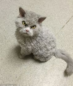 Albert is a breed of Selkirk Rex, known for their wild, curly hair - but not usually for their angered appareances