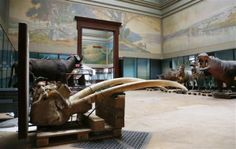 Colonial ghosts haunt belgium as africa museum eyes change.Elephant tusks are seen near stuffed animals at the Royal Museum for Central Africa in Tervuren, near Brussels January 22, 2014. REUTERS-Fra...