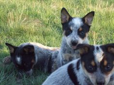 Blue heeler puppies ! Cattle Dogs Rule puppies!
