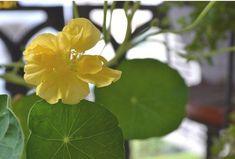 Yellow+Garden+Nasturtium+Tropaeolun+Flower+Seeds+8+Seeds+db