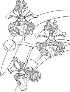 Orquídea Tricolor Vanda Tropical Dibujo para colorear