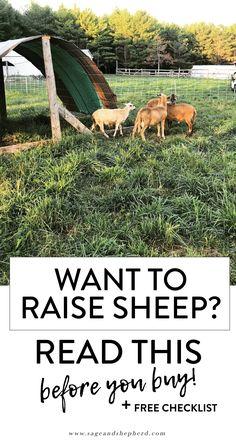 Thinking About Raising Sheep? Read This Before You Buy ) ) raising sheep sage and shepherd farm The Farm, Mini Farm, Small Farm, Raising Farm Animals, Raising Chickens, Raising Goats, Sheep Shelter, Animal Shelter, Animal Rescue