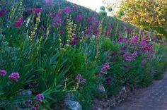 Allium, my favourite Gladiolus byzantinus and plenty of Sisyrinchium