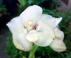 Orquídea paloma