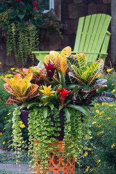 Whether you prefer the variety Zanzibar with its bad-hair-day attitude or the more familiar form (Petra) shown here, croton (Codiaeum) will add a serious color punch to any shade combination. In smaller containers it can be used as the focal point – often referred to as the 'thriller'. In larger designs you may prefer to consider it as an understory plant to something larger such as banana or elephant ears (Colocasia).