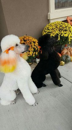 Poodle Dogs - Read more concerning the Savannah Dog Grooming Tools, Creative Grooming, Poodle Grooming, Cat Grooming, Cortes Poodle, Poodle Cuts, Dog Haircuts, Dressage, Savannah