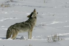 When to Shoot Coyote Hunting Tips