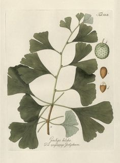 lesmatinsverts:    (via Botanical / Ginkgo Biloba)