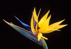 Strelitzia: Bird of Paradise, Crane Flower  Native to South Africa