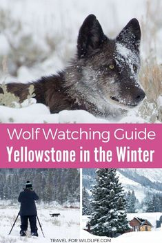 When you visit Yellowstone National Park, one of your must-do's has to be watching wolves. Wolf watching in Yellowstone in the Winter is one of the best wildlife experiences in the world. In this guide we'll show you where to see wolves, where to stay, an Yellowstone Wolves, Yellowstone Winter, Visit Yellowstone, Yellowstone Camping, Yellowstone Vacation, Yellowstone National Park, Usa Travel Guide, Travel Usa, Travel Tips