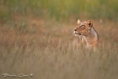 We spotted this lioness stalking a herd of Gemsbok on a trip the the Kgalagadi. She would dissapear into the grass as she moved and then pop up ever now and then to keep and eye on the Gemsbok.