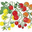 Tomato : Tricolor Garden Candy - Very sweet, tri-color variety cherries