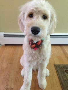 In this article, we will be discussing Goldendoodle grooming. We will outline the most important steps on how to groom a Goldendoodle, and we will even touch a little bit on Goldendoodle grooming styles. Mini Goldendoodle, Goldendoodle Haircuts, Goldendoodle Grooming, Dog Haircuts, Dog Grooming, Golden Labradoodle, Cute Puppies, Cute Dogs, Dogs And Puppies