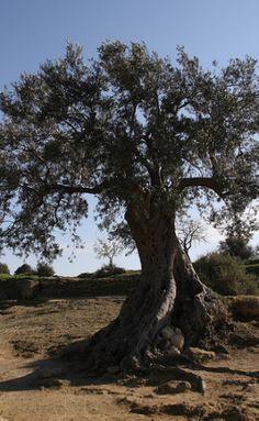 HUGE OLIVE TREE