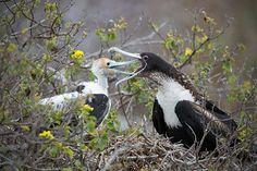 Magnificent Frigate Birds by Sean Crane on 500px