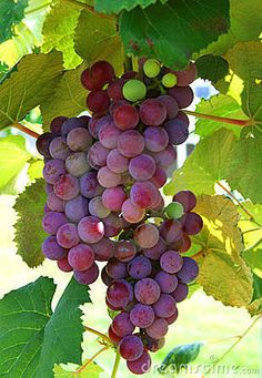 Photo about Table grapes on the vine ready for harvest. Image of wine, purple, leaf - 5433964 Fruit And Veg, Fruits And Veggies, Fresh Fruit, Vegetables, Grape Painting, Fruit Painting, Fruits Photos, Fruits Images, Grape Vineyard