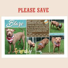 Regrann from @erindogovich -  BLAZE TO BE KILLED - 4/11/2018  PUBLICLY ADOPTABLE  DOGGY GQ CANDIDATE  A volunteer writes: You know when you go to the #park and you see an amazing looking dog with a huge smile sparkling eyes & wagging tail just waiting for his person to throw the ball? And you have #dog envy thinking 'I wish that was my dog'. Well this is your chance as Blaze is waiting! He's a magnificent looking dog sparkling and fun ready for a walk a game of fetch and a chance to go…