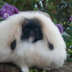 Stunning coat on this Pekingese puppy!