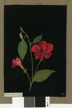 Hibiscus Rosa Sinensis, from an album (Vol. 1777 Collage of coloured papers, with bodycolour and watercolour, on black ink background Paper Flower Art, Paper Flowers, Botanical Drawings, Botanical Prints, Hibiscus Rosa Sinensis, Paper Artwork, Nature Illustration, Collage Artists, Fauna