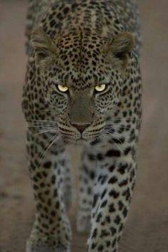 #AfricanLeopard