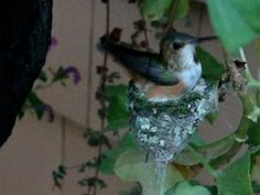 This is story of how a man-made hummingbird's nest was fashioned to save a hummingbird family from near disaster. The original nest was infested with bird mites which drove the baby chicks to abandon their nest. One of the baby hummers fell to the. Humming Bird Feeders, Humming Birds, Flowers That Attract Hummingbirds, Hummingbird Nests, Baby Chicks, Bird Houses, Walkway, Feathers