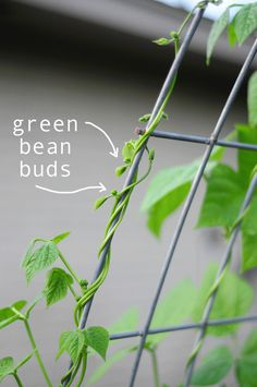 green bean buds! how to grow green beans and other things in your garden, click link for how to