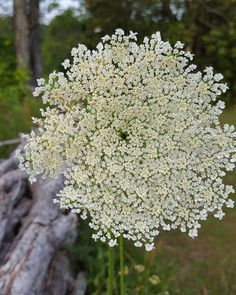Queen Anne's Lace  #appalachia #backtonature #backwaterstills #country_features #countrylife #countryliving #farmhousestyle #farmlife #g #lifeinthecountry #madeintn #queenanneslace #ruralart #tennesseeartist #wanderlust