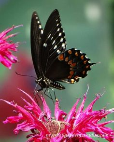 Majestic looking pose! Go Spicebush Swallowtail! Beautiful Bugs, Beautiful Butterflies, Animals Beautiful, Beautiful Things, Most Beautiful, Moth Caterpillar, Humming Birds, Save The Bees, Ladybugs