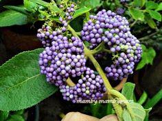 Bloggang.com : mambymam : บิวตี้เบอรี่ หรือ ราชาไข่มุก มาคราวนี้ว่าด้วยเรื่องของดอกและต้น ส่วนผลหายแซ่บหายสอย แต่ก็โผล่มาหนึ่ง