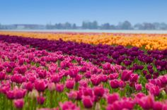 Tulilp fields in the Netherlands | Many people often mistake Keukenhof, also known as the Garden of Europe, as the designated space of the tulip fields. However, these majestic fields are located just outside the garden and are mostly privately owned.