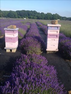 Beehives in a lavender field. be still, my heart <3