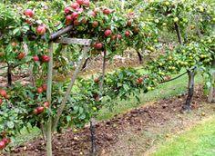 Pungpinan: Spaljerade äppelträd