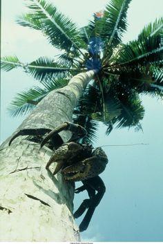 Klapperdief op de stam van een kokospalm