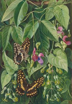 Two climbing plants of St. John's, and Butterflies. print by Marianne North from Kew - home to the world's largest collection of botanical art. Botanical Flowers, Botanical Prints, Tropical Flowers, Beautiful Paintings Of Flowers, Floral Paintings, Marianne North, Butterfly Art, Butterflies, Plant Illustration