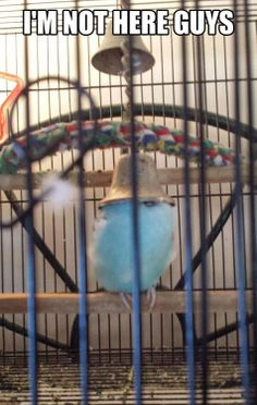 I can't see you, you can't see me, silly budgie!