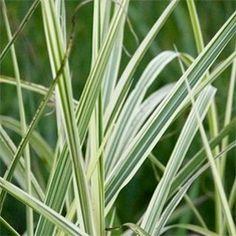 Miscanthus sinensis 'Variegatus'