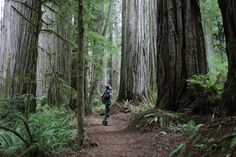 Redwoods just south of Crescent City, CA.  This is Boyscout Trail, which leads to Fern Falls.  So beautiful.  Gotta love tripods...
