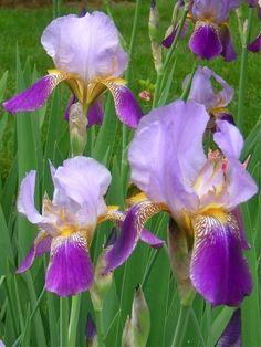 iris irises flower yellow purple Iris 7 Irises, A Rainbow of Color Straight From the Garden
