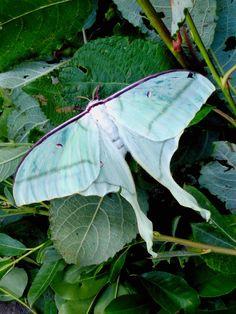 Actias ningpoana ningtaiwana female Taiwan Lunar Moth, Moon Moth, Taiwan, Butterflies, Plant Leaves, Insects, Mystery, Vibrant, Study