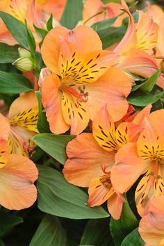 alstroemeria, Alstroemeria Mathilde, Alstroemeriaceae, Alstroemeria information, Peruvian Lily, Lily of the Inca, Parrot Lily, garden perennial