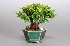 Ulmus parvifolia bonsai  6.4cm