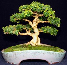 I've had this Kingsville Boxwood growing on a rock for about 10 years. It was starting to suffer from being somewhat rootbound so today I removed it from the ro Boxwood Bonsai, Herbs, Plants, Boxwood, Growing, Growing Tree, Landscape, Nature, Miniature Trees